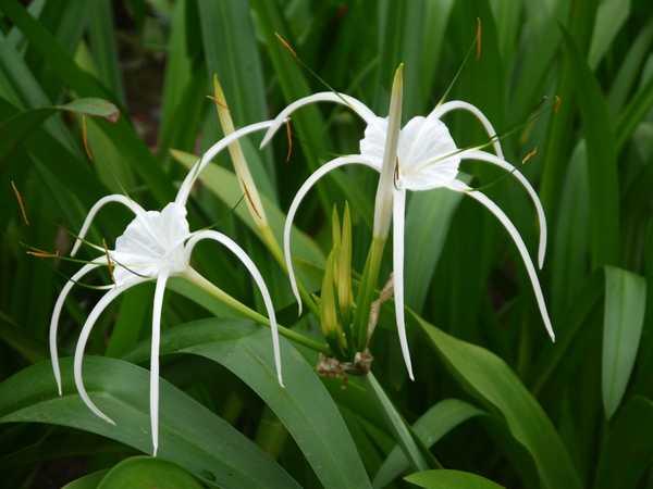 水鬼蕉又叫蜘蛛兰,花绿白色,有香气。叶姿健美,花形别致。适合盆栽观赏,可用于庭院布置或花境、花坛用材。那水鬼蕉花语是什么呢?什么时候开花呢?一起看看吧。    一、水鬼蕉花语   水鬼蕉花语:天生丽质   受到水鬼蕉祝福的人,在本质上拥有着难以抗拒的魅力,肯定是集中了很多的优点于一身的,是个标准的万人迷。但是可惜的一点就是,别人只懂欣赏她的外表,却看不到她的努力之处。被很多的人误认为是一个魅力花瓶。水鬼蕉花箴言:怠情的心是一切破灭的源头。   至于水鬼蕉,这个名字就更加吊诡了,在网络上很难查到其由来。