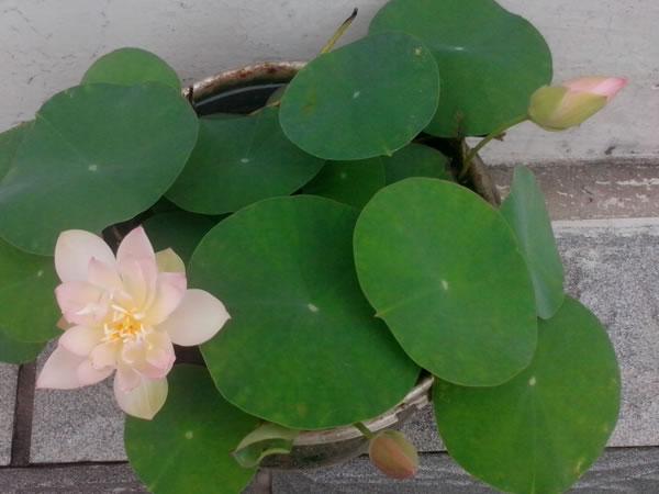 碗莲的种植方法和注意事项