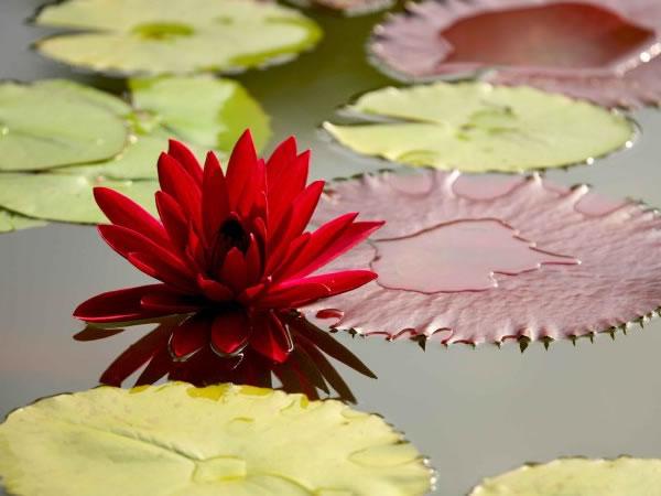 红睡莲的繁殖方法大全 红睡莲的功效作用