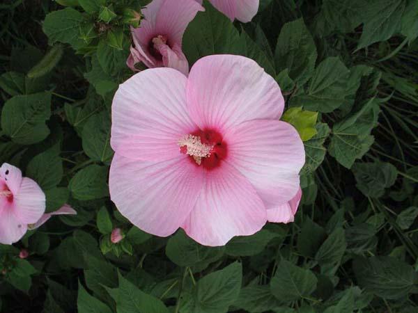芙蓉葵盆栽种植方法 芙蓉葵图片欣赏