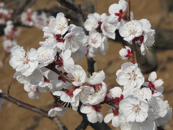 杏花是古老的花木,在中国有着年前的栽培历史,不仅能赏花还能采果。杏花盛开时,艳态娇姿,繁花丽色。那杏花什么时候开呢?杏花的养殖方法是怎样的呢?    一、杏花什么时候开   杏花开花季节(3月底4月中旬)   在北方,杏花比梨花、桃花开得都早,眼下吹面不寒杨柳风,杏花无疑是最早向我们传达春意的使者。4月初,北京凤凰岭自然风景区600余亩杏花逐渐绽开,景色迷人。4月3日、4日,凤凰岭将举办杏花节活动,还有民族歌舞表演等娱乐活动。除凤凰岭外,在将军坨风景区踏青赏花节,您也可以观赏到杏花的风情。    二