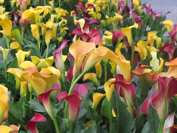 彩色马蹄莲花语大全 彩色马蹄莲开花后处理方法