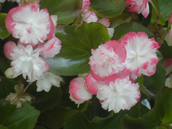 那秋海棠花怎么养殖呢?又有着怎样的花语含义呢?
