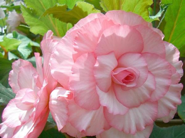 秋海棠花的养殖方法 秋海棠花花语象征意义