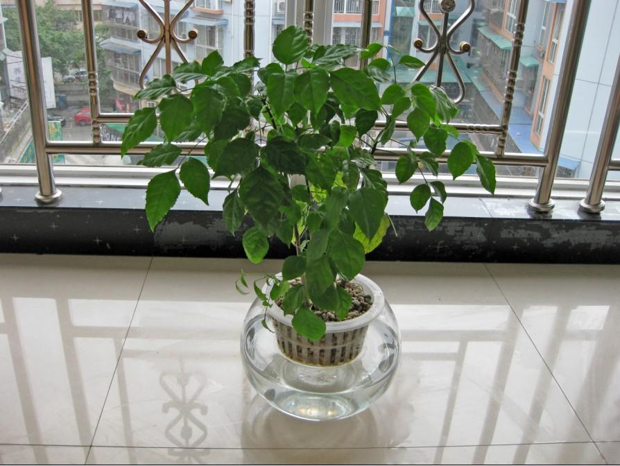 喜欢养殖植物的朋友应该知道幸福树能吸收空气中的有害物质,具备防辐射的影响,所以在办公室摆放这个植物的可以是可以防辐射的。那幸福树的养殖有什么需要注意的呢?今天,装修网为大家介绍幸福树的养殖方法和注意事项。  1、幸福树的养护方法温度方面:幸福树的生长环境也很重要,这主要是温度,白天的生长温度为20-21,晚上为18-19,炎热盛夏时要尽量将温度控制在27以下。当环境温度很高时,要适当用搭棚遮荫。增加环境湿度,从而提高叶面的湿度。当在冬季的时候,温度不能低于8度,湿度不能少于5度,否则会被冻伤。