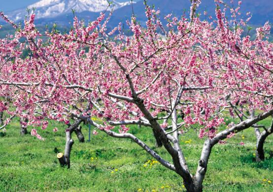 桃树彩铅手绘风景
