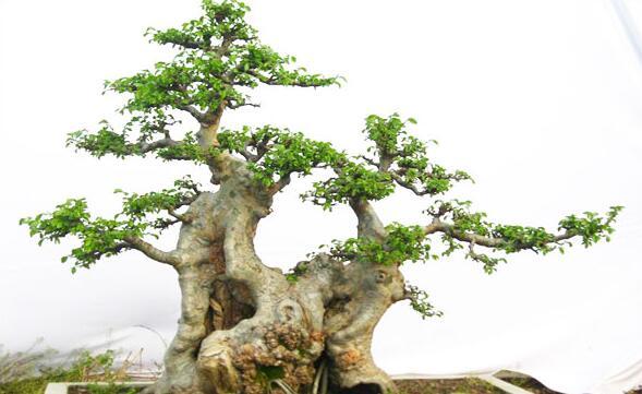 所制作榆树盆景有的盘根错节