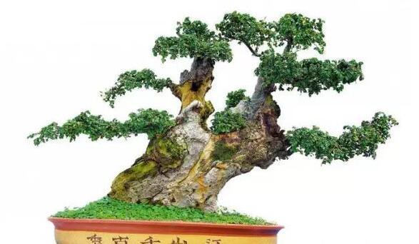 榆树盆景的制作 榆树盆景的养护