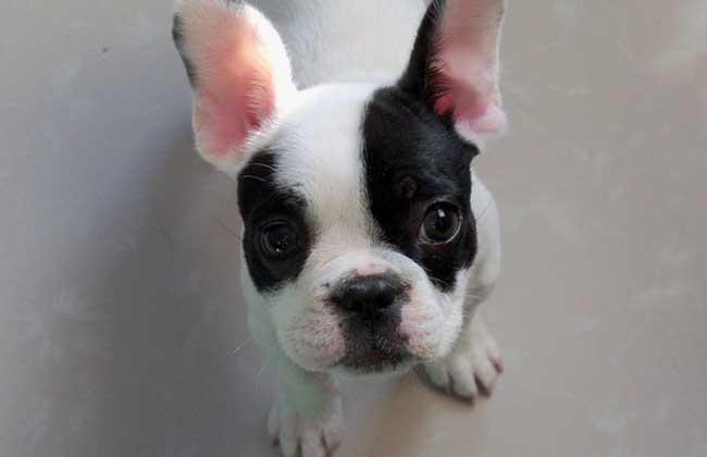 【图】法国斗牛犬多少钱一只?
