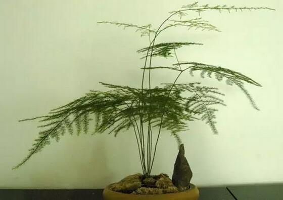 喜爱文竹的朋友有很多,文竹虽然不是竹子,但是文竹枝干有节似竹,姿态