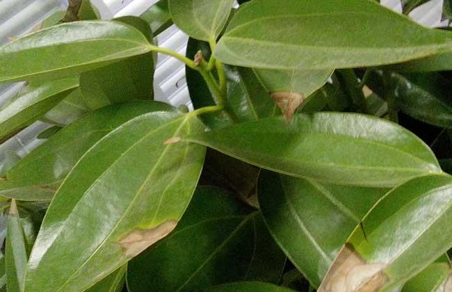 平安树叶子发黄是怎么回事?图片
