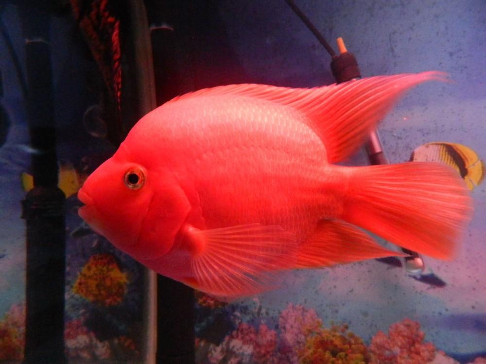 红财神血鹦鹉鱼招财方法