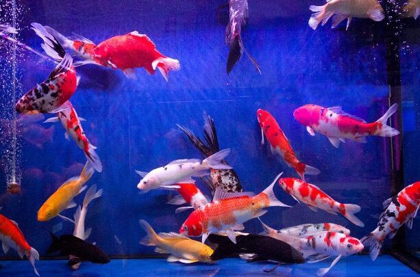 观赏鱼养殖技巧