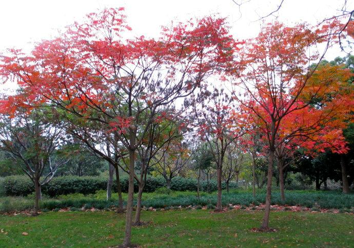 枫树和叶简笔画