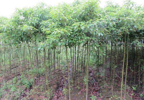 绿化树苗种植技术