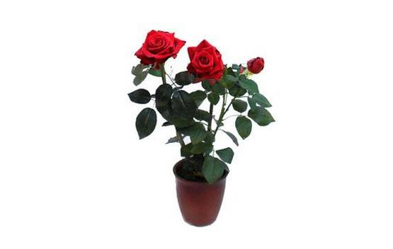 装修保障网 装修学堂 植物 玫瑰花苗种植方法 玫瑰花苗价格