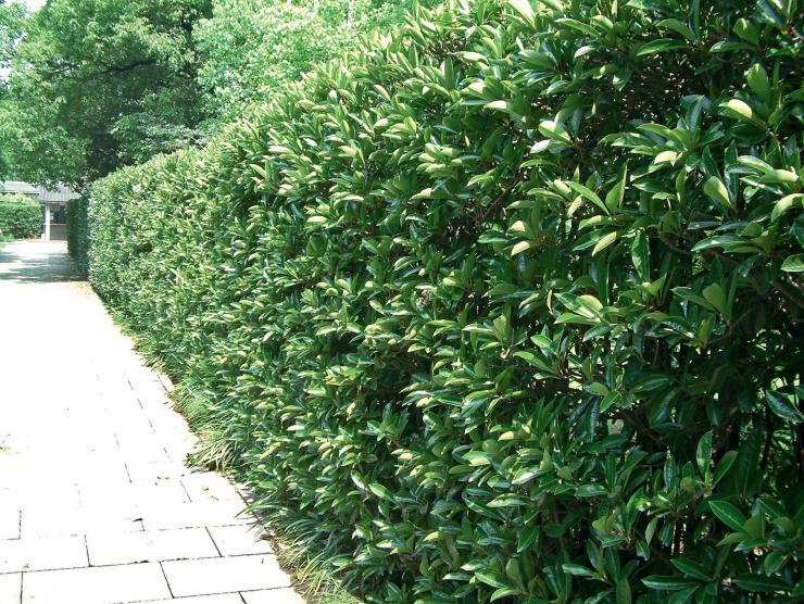 植物绿篱手绘速写