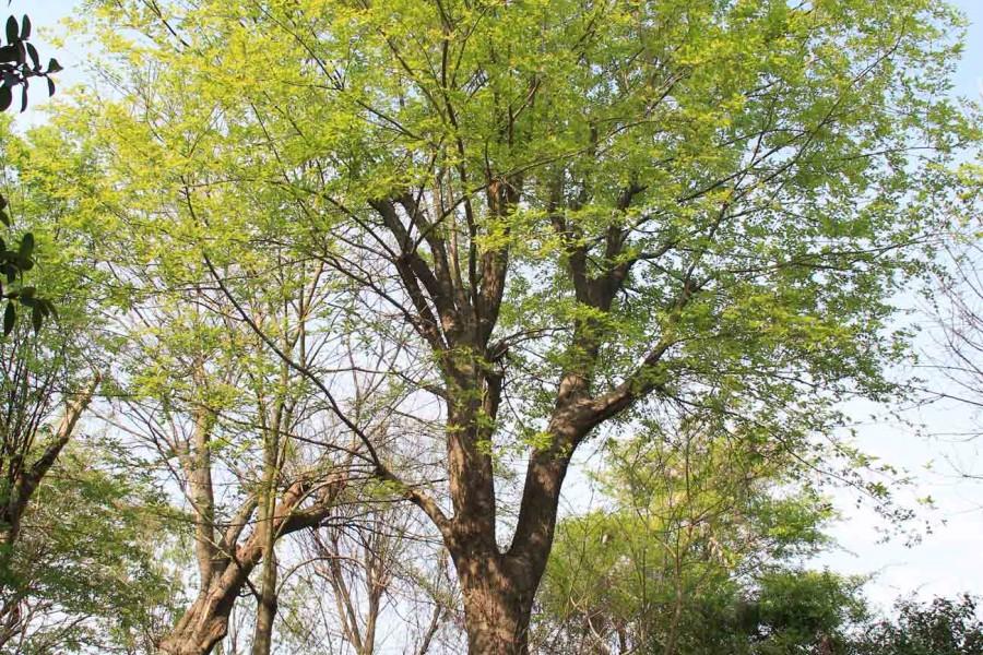 生活小常识:朴树是什么树 榉树和朴树的区别-装修保障网
