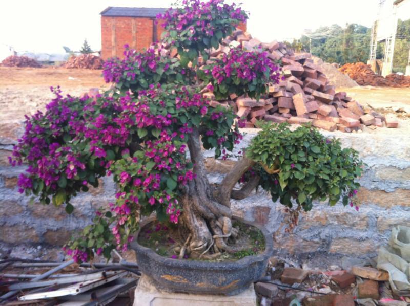 石榴树盆景肥料