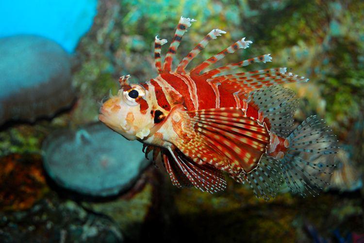 蓑鲉又称狮子鱼,在海水鱼类中属鲉科,多产于温带靠海岸的岩礁或珊瑚礁内。体延长,侧扁,头侧扁,具棘棱和皮瓣,吻长而狭,背面中央凸起。眼中等大,上侧位。眼间隔狭而凹入。口端位,斜裂,上颌中央有一凹刻。上下颌和犁骨具牙,腭骨无牙。鳃盖骨具一扁棘;鳃孔宽大。下面跟随装修保障网小编来了解狮子鱼吧!