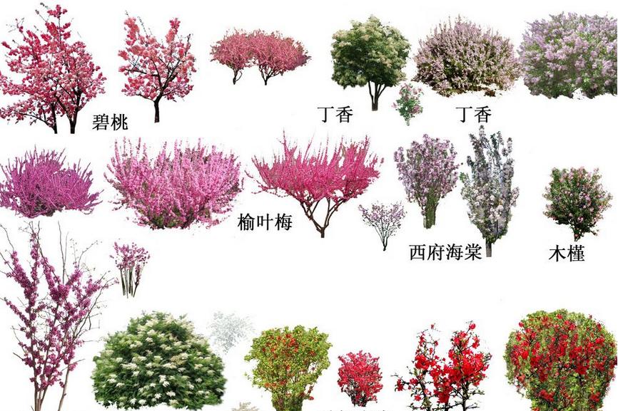 景观植物图例手绘石楠