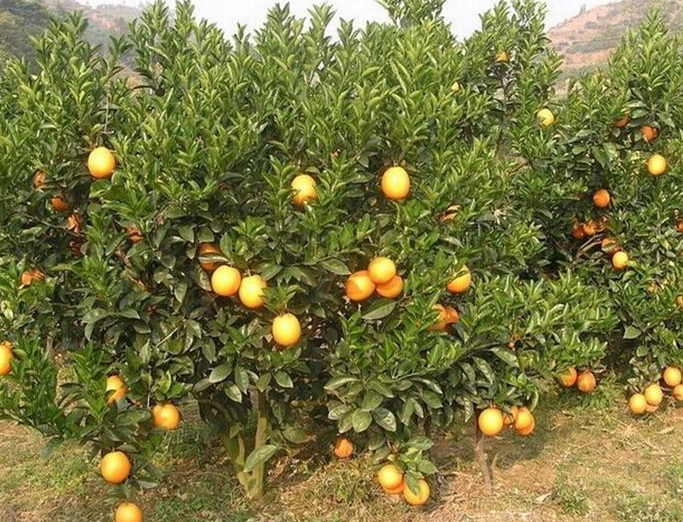 橙子树一般生长在亚热带的山地丘陵地区,肥沃的土壤,良好的排灌条件
