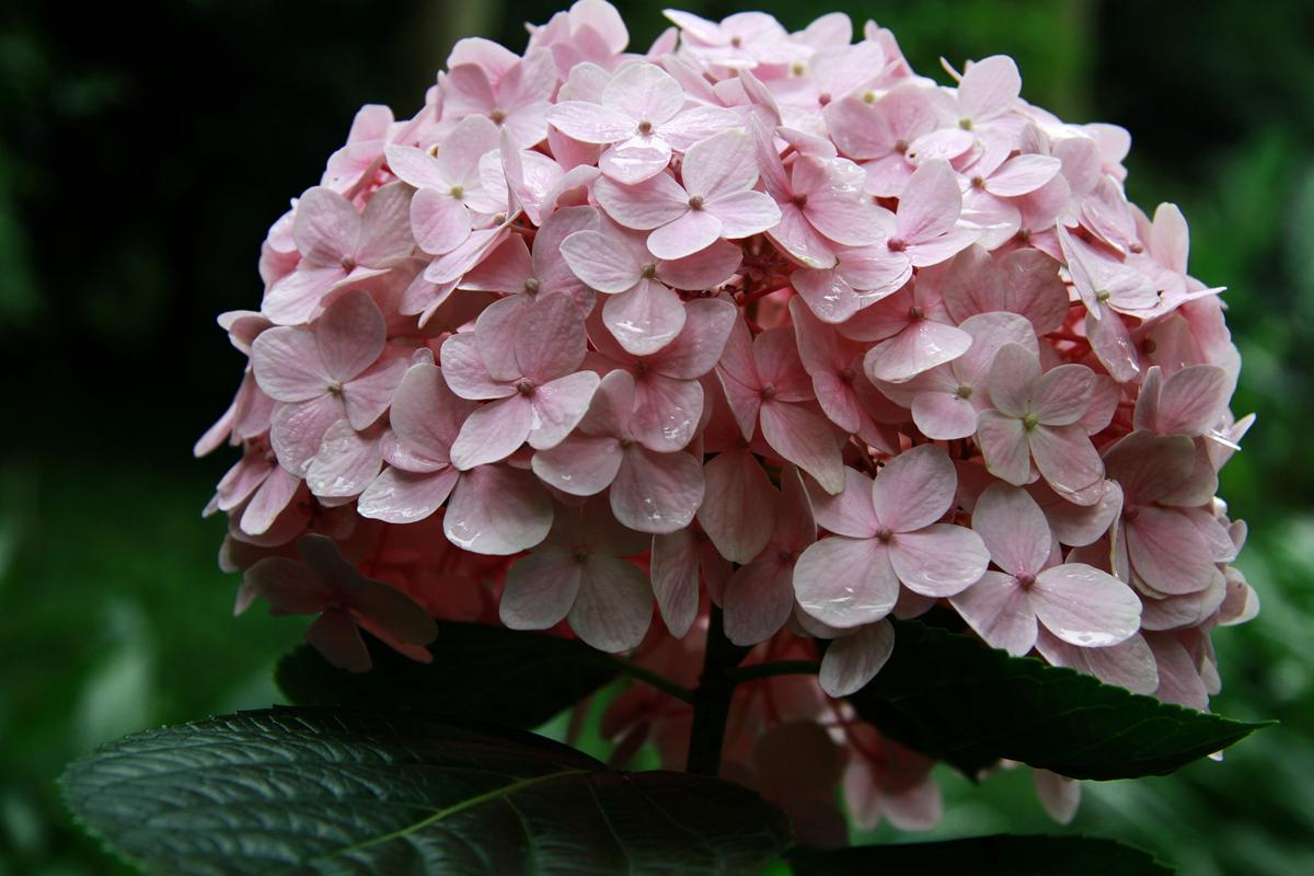 绣球花施用有机肥的技术