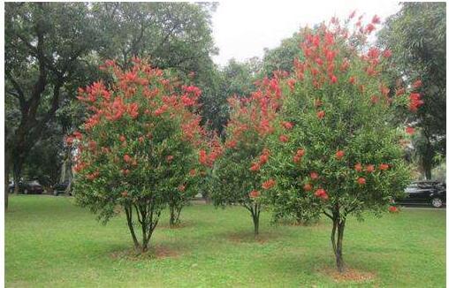 红瓶刷,金宝树等,为桃金娘科的常绿灌木或小乔木,红千层属阳性树种,喜
