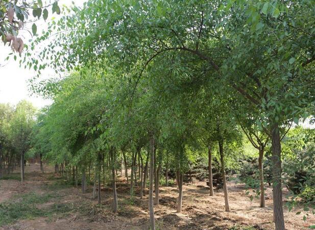 丝绵木种植技术 丝绵木价格