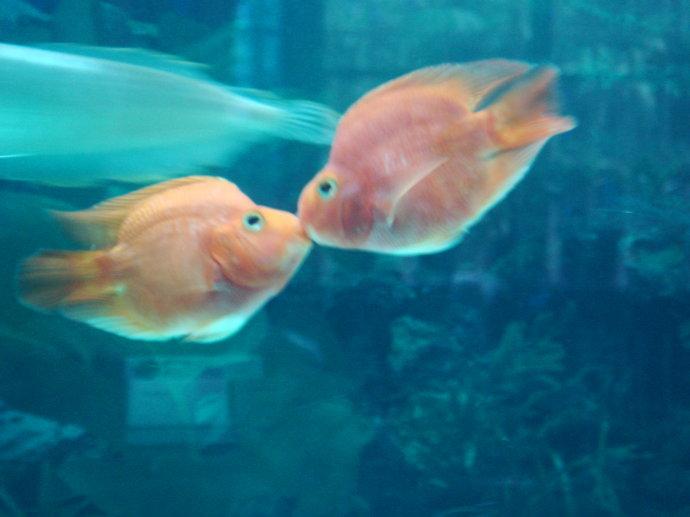 【图】亲嘴鱼吃什么 亲嘴鱼价格