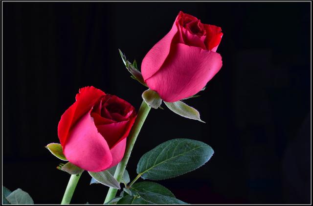 玫瑰花,象征着爱情,象征着浪漫。说到爱人送来的玫瑰,心里面都希望能让这花用不枯萎。但是我们都知道,玫瑰花虽美,却不易于长期的保存、保鲜。那怎么办呢,接下来小编就交给大家几种玫瑰花保鲜方法,让你们的爱情永久永久!    玫瑰花如何保鲜折枝法   对于一些枝梗脆性的花木,选定了用来插瓶的花枝,要用手把它折断。这样花梗没有受到压力,导管保持正常,容易吸收水分。   玫瑰花如何保鲜冰箱保鲜法   全家外出时,把瓶养插花取出用塑料袋装好放在冰箱中保存,可保持数日不凋,回来后取出插在花瓶中,又可栩栩如生。