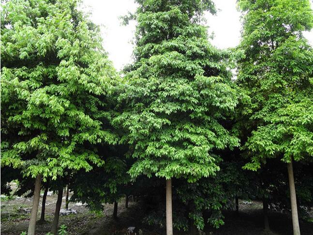 桢楠树价格1,金丝楠木大树批发四川成都小叶桢楠树20年专业,专注于