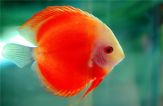 生活中很多爱鱼者喜欢在自家里面养观赏鱼,而观赏鱼种类又那么多,到底哪种观赏鱼最好养呢?当你选定某种观赏鱼之后,又由于第一接触,不知道观赏鱼怎么养才好。下面就让小编给大家介绍一下观赏鱼的养殖知识吧。    观赏鱼怎么养?   1、养好鱼要先学会买好鱼:健康的鱼在水体的中下层游动(上层鱼除外)、争抢食物,游姿自然、悠闲,尾鳍清澈透明、飘逸,眼珠清晰,个体大。沉底、浮头、游动现挣扎状,有外伤、白毛、白点,尾鳍肥厚、混浊、严重血丝、体色灰暗、眼珠混浊、单身独处,拒食的或以身体擦缸的都属病鱼,一定不能购买。