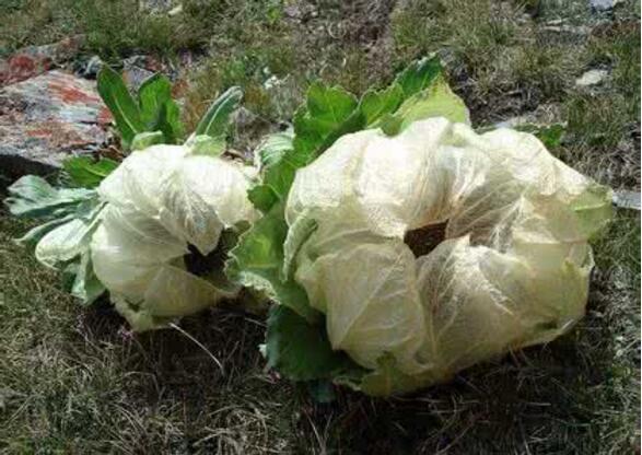 天山雪莲花是一种多年生菊科草本植物,其本身不仅仅是奇花异草,还身居多种功效。这种花在俄罗斯以及中国均有分布,主要集中生长在海拔2400米以上的高原地区。其植株高度一般在15至35厘米,花朵雪白、素雅,极具观赏价值,另外,其内还有丰富的挥发油、鞣制等,是珍贵的药用植物。