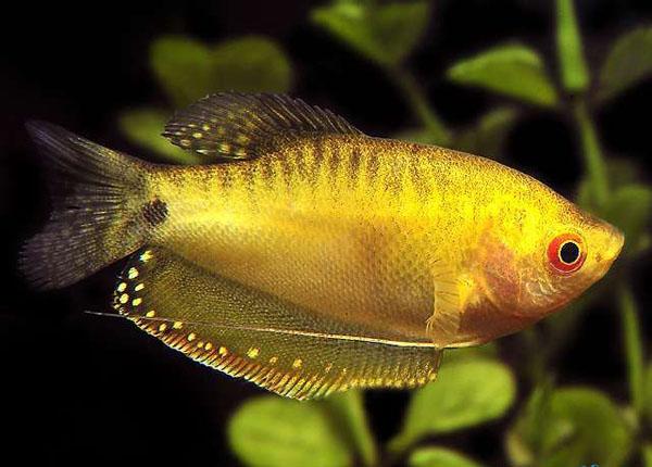 曼龙鱼怎么养 曼龙鱼怎么分公母图片