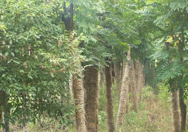 金丝楠木树是一种高大的乔木,其长成的木材被称为我国四大名木,其中楠木更是居于楠、樟、梓、椆中四大名木之首。金丝楠木树结成的木材,具有金丝和类似绸缎光泽现象,因而得名金丝楠木树,金丝楠木树的别名为紫楠,是我国所特有的一种珍贵木材。    金丝楠木树图片   生长环境与特性   金丝楠木树有野生与栽培,野生的树木多生长在海拔1500米以下的阔叶林中,主要集中在四川、湖北西部、云南、贵州及长江以南等省区。据记载,在所有品种的金丝楠木树中,四川的金丝楠木树的品质最佳,属中国国家二级保护植物。   金丝楠木树作