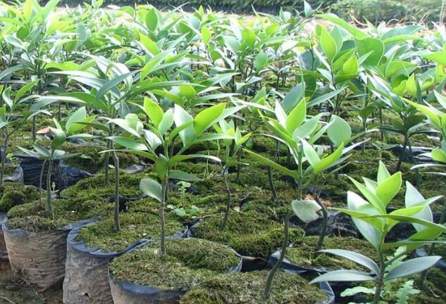 竹柏树盆景种植 竹柏树价格