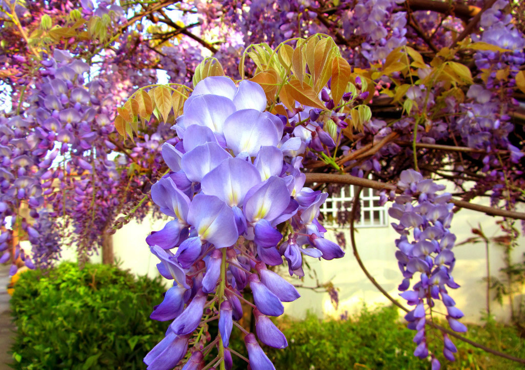 紫藤花是一种外形美观,装饰性效果好的植物。而想要将紫藤花的养殖好是需要大家多费一番心思的。对此,接下的内容就来跟大家来说说紫藤花的养殖方法。 紫藤又名藤萝、朱藤,是优良的观花藤木植物,一般应用于园林棚架,春季紫花烂漫,别有情趣,适栽于湖畔、池边、假山、石坊等处,具独特风格,盆景也常用。