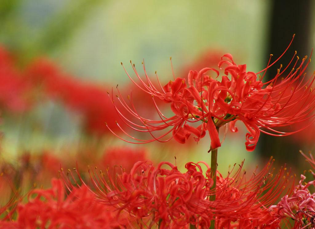 彼岸花的种植方法 彼岸花作用介绍