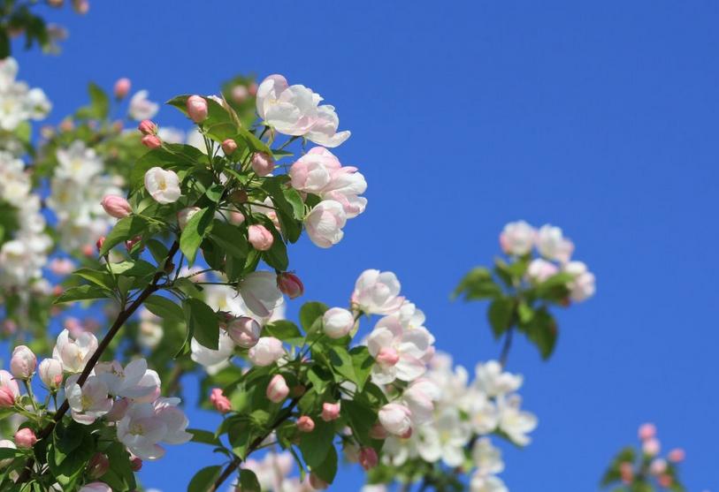 海棠树的养殖方法