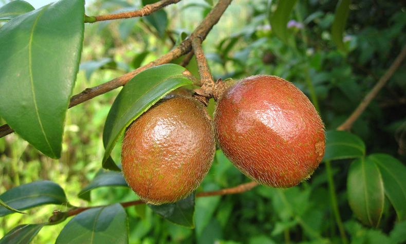 油茶树是世界四大木本油料之一,它生长在中国南方亚热带地区的高山及