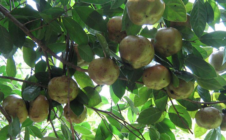 【图】油茶树的种植前景 油茶树的栽培要点