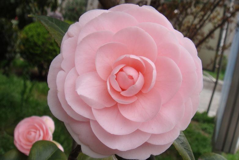 山茶花花期长,多数品种为1~2个月,单朵花期一般为7~15天.