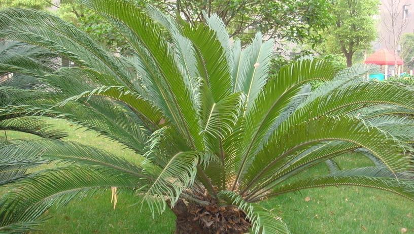 生活小常识:铁树叶的功效与作用是怎样的呢?图片