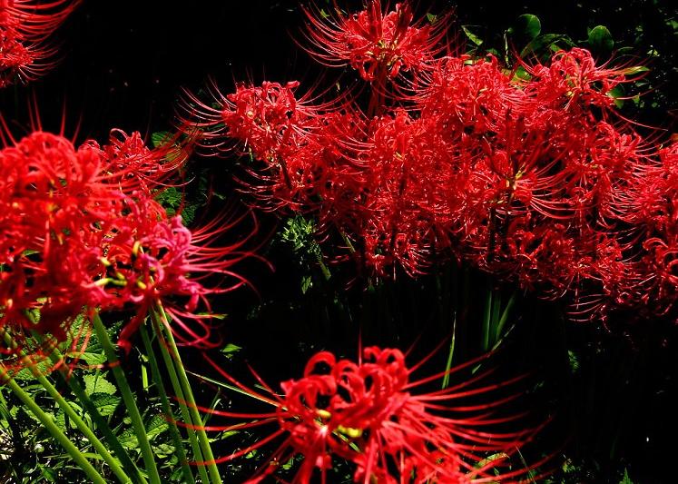 红色的彼岸花又被称为曼珠沙华,而白色的彼岸花又被称为曼陀罗华,彼岸