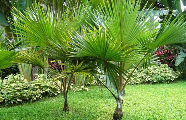 棕榈树的种植技术 棕榈树的生长习性
