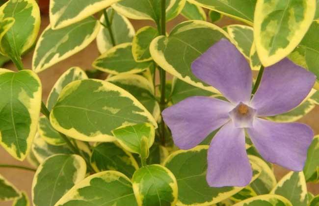 四季常绿,分蘖出来的藤蔓及3月份开出的紫罗兰色的小花像缀花绿地毯