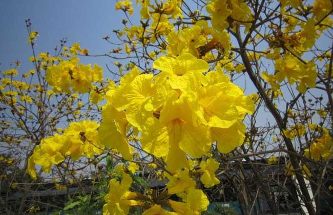 黄花风铃木繁殖方法 黄花风铃木栽培技术