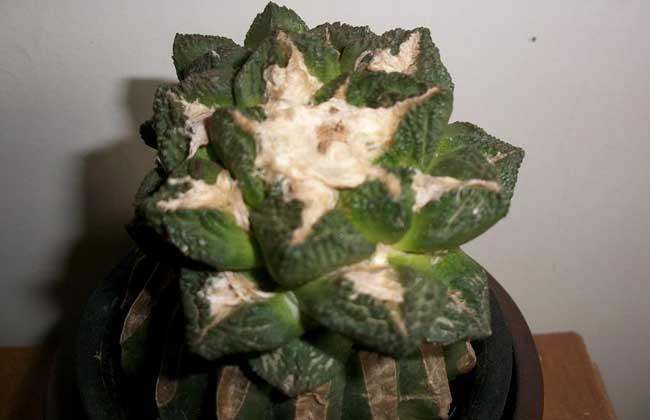 龟甲牡丹怎么养 龟甲牡丹的养殖方法