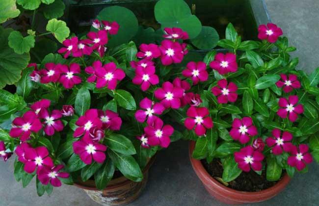花种子_长春花种子怎么种 长春花种子播种时间